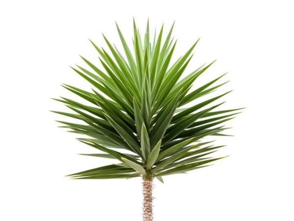 Plantes vertes d'intérieur - Yucca
