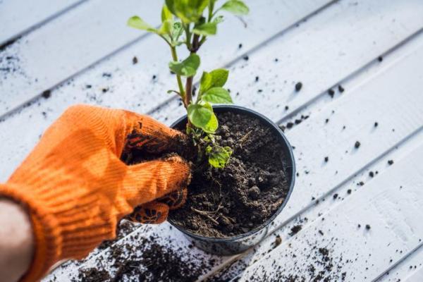 Comment planter un hortensia - Comment planter un hortensia à partir de boutures ?