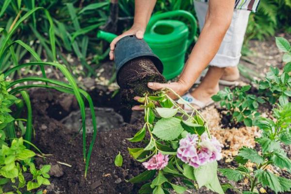 Comment planter un hortensia - Comment planter un hortensia ? - Étapes