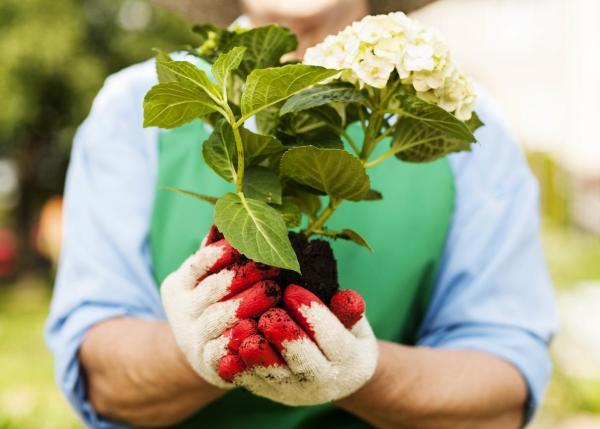 Comment planter un hortensia - Quand planter un hortensia ?