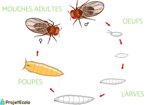 Cycle de vie de la mouche - Cycle de vie de la mouche
