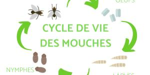 Cycle de vie de la mouche