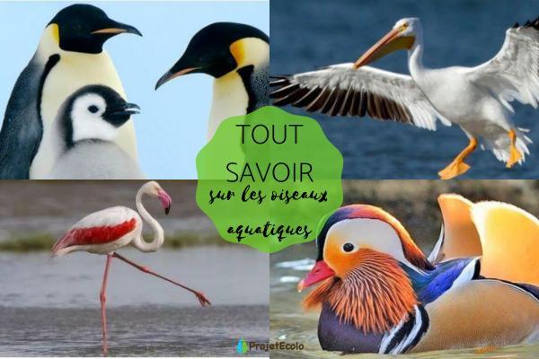 Oiseaux aquatiques : caractéristiques, types et noms