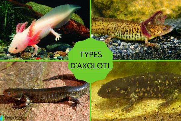 Axolotl - Types et caractéristiques