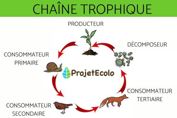 Chaîne trophique - Définition et exemple