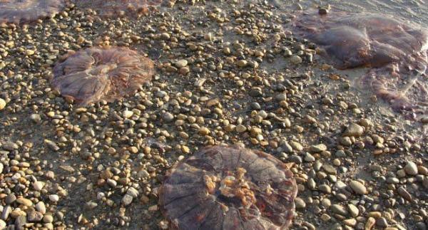 Reproduction des méduses