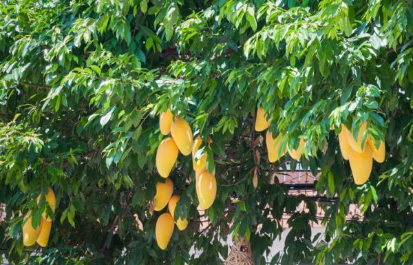 Les différents types d'arbres - Types d'arbres fruitiers