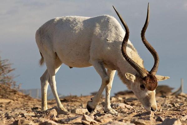 Animaux du désert du Sahara - Noms, caractéristiques et photos - Addax ou antilope à nez tacheté