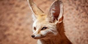 Animaux du désert du Sahara - Noms, caractéristiques et photos