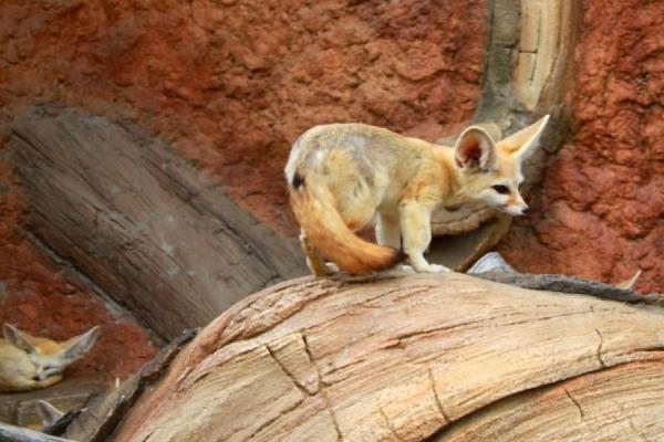 Animaux du désert du Sahara - Noms, caractéristiques et photos - Fennec ou renard des sables