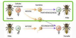 Parthénogenèse - Définition et exemples
