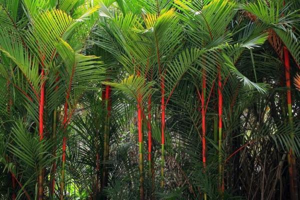 Types de palmiers - Liste et caractéristiques avec photos - Cyrtostachys renda