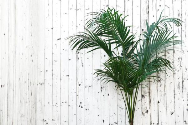 Types de palmiers - Liste et caractéristiques avec photos - Howea forsteriana