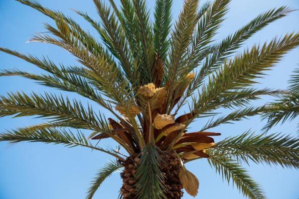 Types de palmiers - Liste et caractéristiques avec photos - Phoenix canariensis
