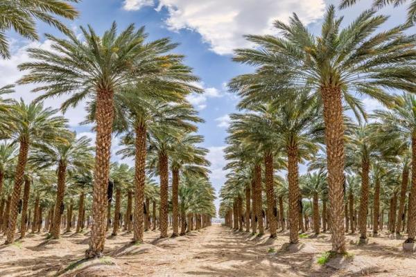 Types de palmiers - Liste et caractéristiques avec photos - Phoenix dactylifera