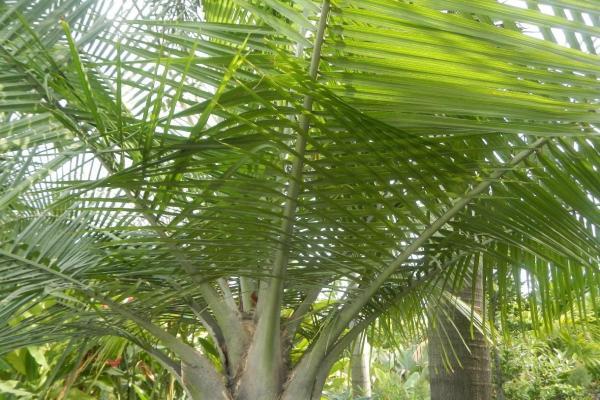 Types de palmiers - Liste et caractéristiques avec photos - Ravenea rivularis