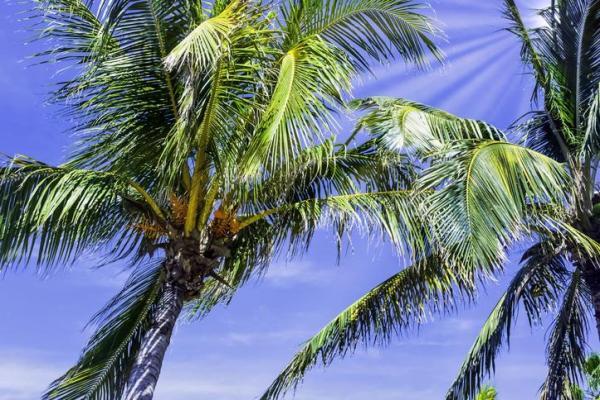Types de palmiers - Liste et caractéristiques avec photos - Roystonea regia