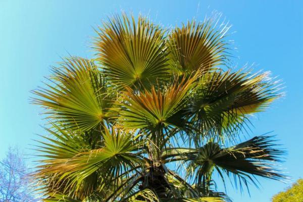 Types de palmiers - Liste et caractéristiques avec photos - Trachycarpus fortunei