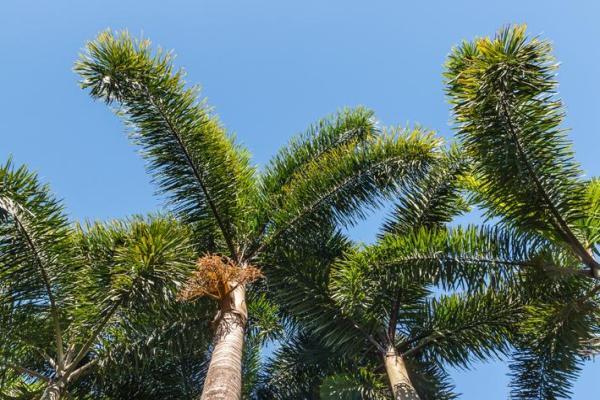 Types de palmiers - Liste et caractéristiques avec photos - Wodyetia bifurcata