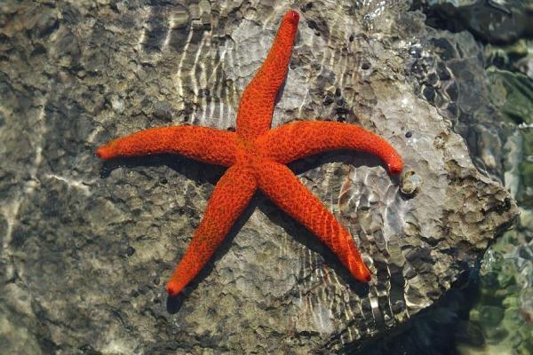 Animaux marins : caractéristiques, types et liste - Étoile de mer commune