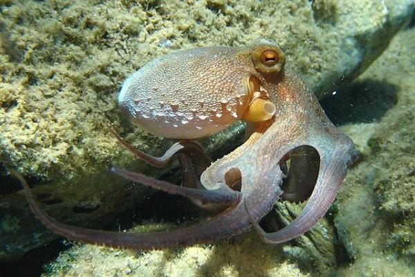 Animaux marins : caractéristiques, types et liste - Poulpe commun