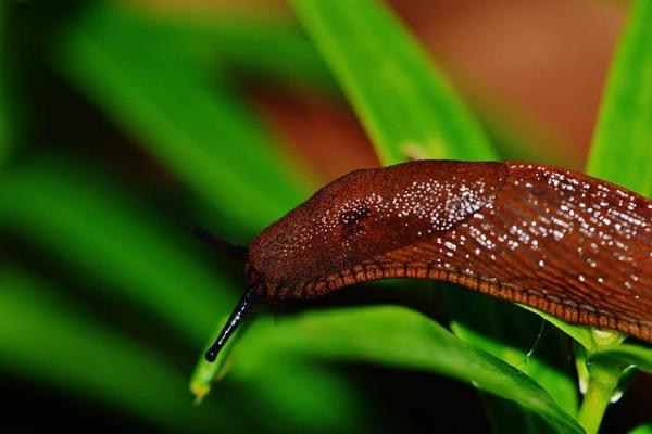 Comment se débarrasser des limaces et escargots dans le jardin - Attrapez les limaces et les escargots et déplacez-les