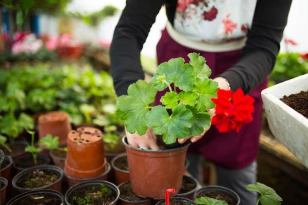 Quand planter les géraniums - Quand planter les géraniums ?