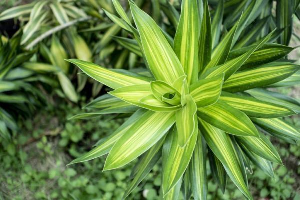 Plantes ornementales - Espèces représentatives et images - Types de plantes ornementales d'intérieur - Noms