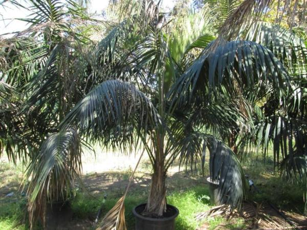 Plantes à grosses feuilles - Howea Forsteriana