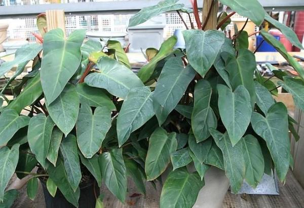 Plantes à grosses feuilles - Philodendron Erubescens