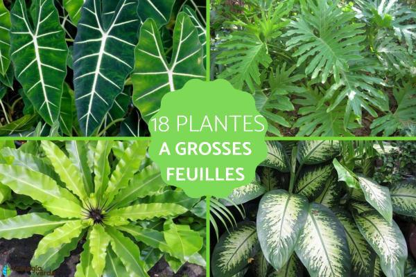 Plantes à grosses feuilles