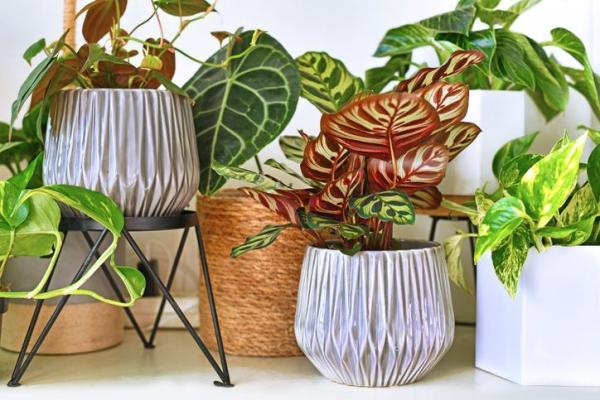 Plantes qui absorbent l'humidité - 20 plantes anti-humidité - Calathea