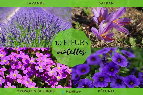 10 plantes à fleurs violettes - Noms, caractéristiques et photos