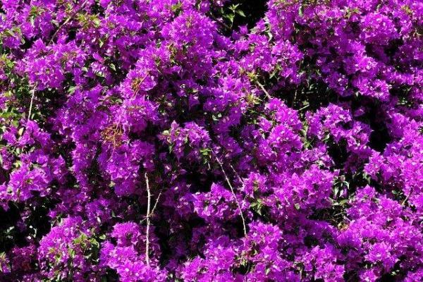 10 plantes à fleurs violettes - Noms, caractéristiques et photos - Bougainvillier