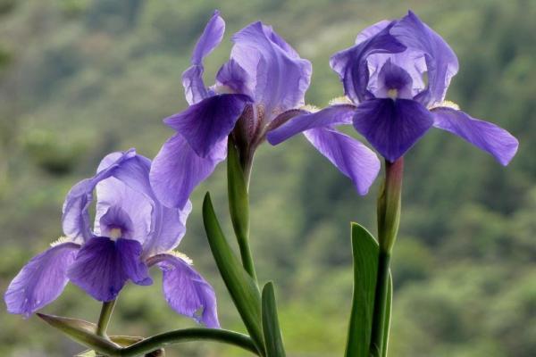 10 plantes à fleurs violettes - Noms, caractéristiques et photos - Iris ou lys