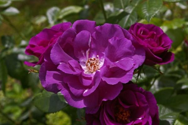 10 plantes à fleurs violettes - Noms, caractéristiques et photos - La rose, l'une des fleurs violettes les plus exotiques