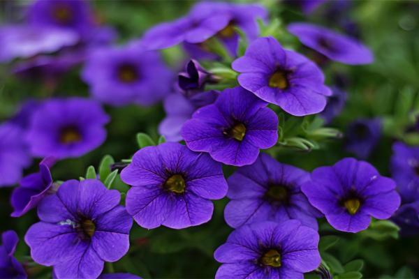 10 plantes à fleurs violettes - Noms, caractéristiques et photos - Le pétunia, l'une des plus célèbres fleurs violettes