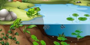 Cycle de vie d'une grenouille : étapes et images