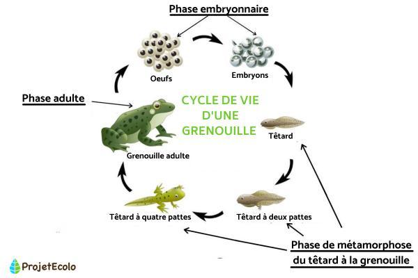 Cycle de vie d'une grenouille : étapes et images - Étapes et images du cycle de vie d'une grenouille