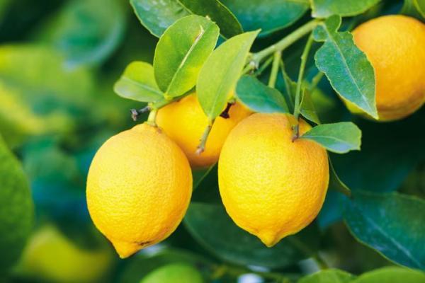 Variété de citronnier - Caractéristiques, liste et photos - Citronnier Bush