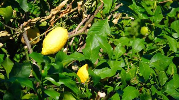 Variété de citronnier - Caractéristiques, liste et photos - Citronnier Ponderosa