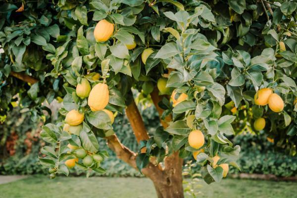 Variété de citronnier - Caractéristiques, liste et photos - Citronnier Primofiori
