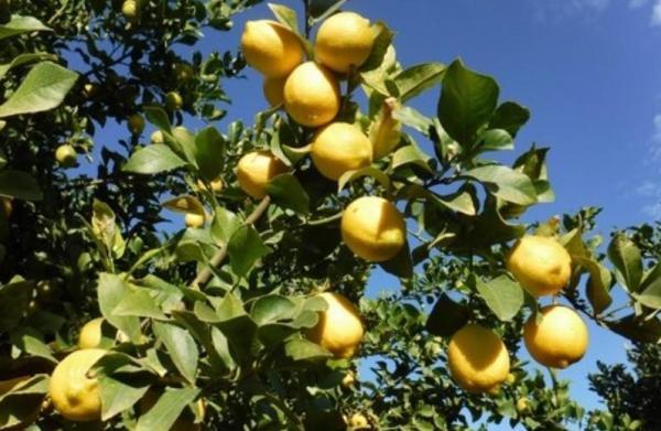 Variété de citronnier - Caractéristiques, liste et photos - Citronnier Verna