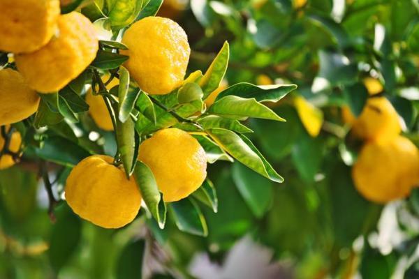 Variété de citronnier - Caractéristiques, liste et photos - Citronnier Yuzu