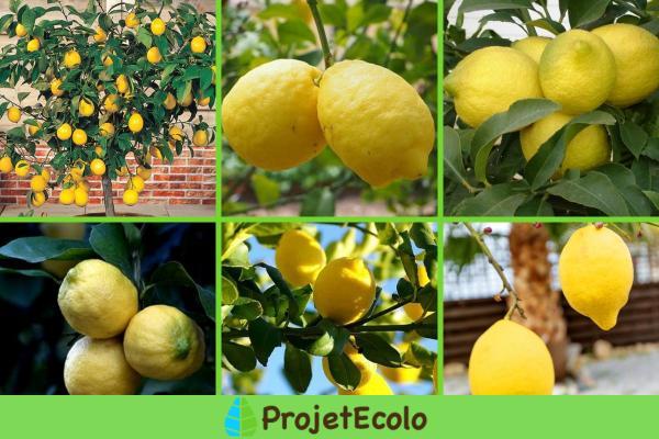 Variété de citronnier - Caractéristiques, liste et photos - D'autres variétés de citronnier