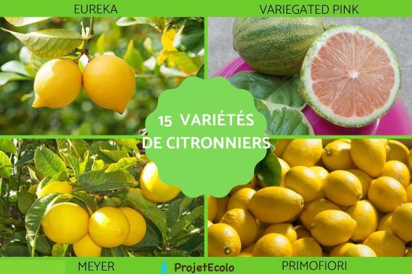 Variété de citronnier - Caractéristiques, liste et photos