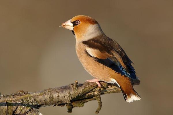 Animaux frugivores - Caractéristiques et liste d'exemples - Exemples d'oiseaux frugivores