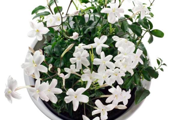 Comment planter du jasmin ?