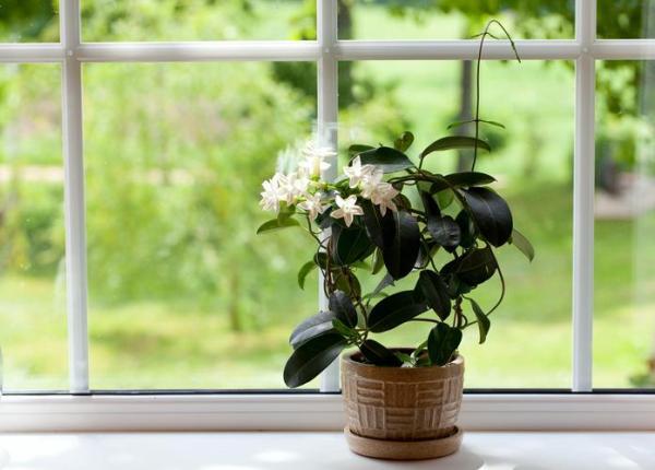 Comment planter du jasmin ? - Comment planter un jasmin en pot pour une terrasse