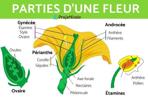 Plante dioïque : Définition, liste et exemples - Définition et caractéristiques des plantes dioïques